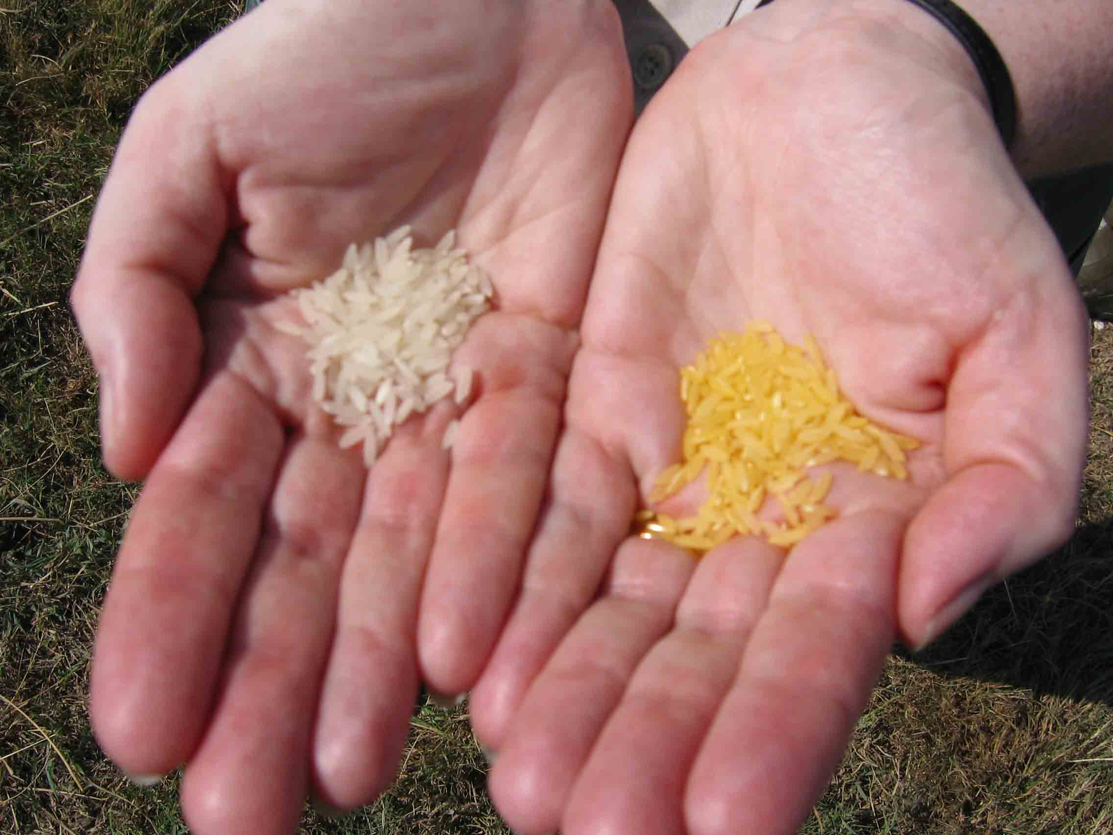 Golden Rice within reach