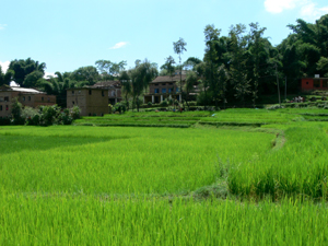 Rice fields around Kathmandu