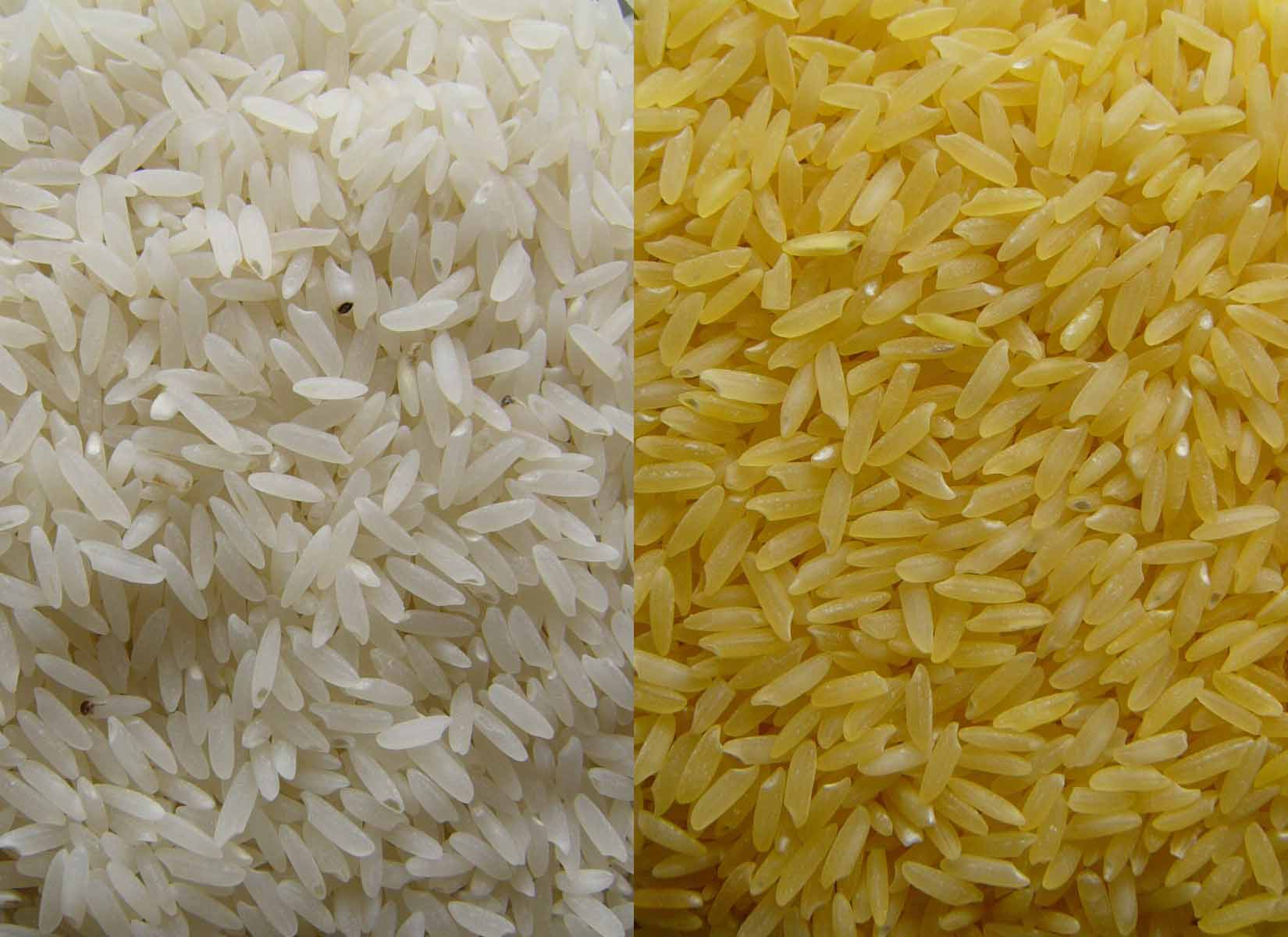 Comparison of wild type and golden rice. Via Goldenrice.org.